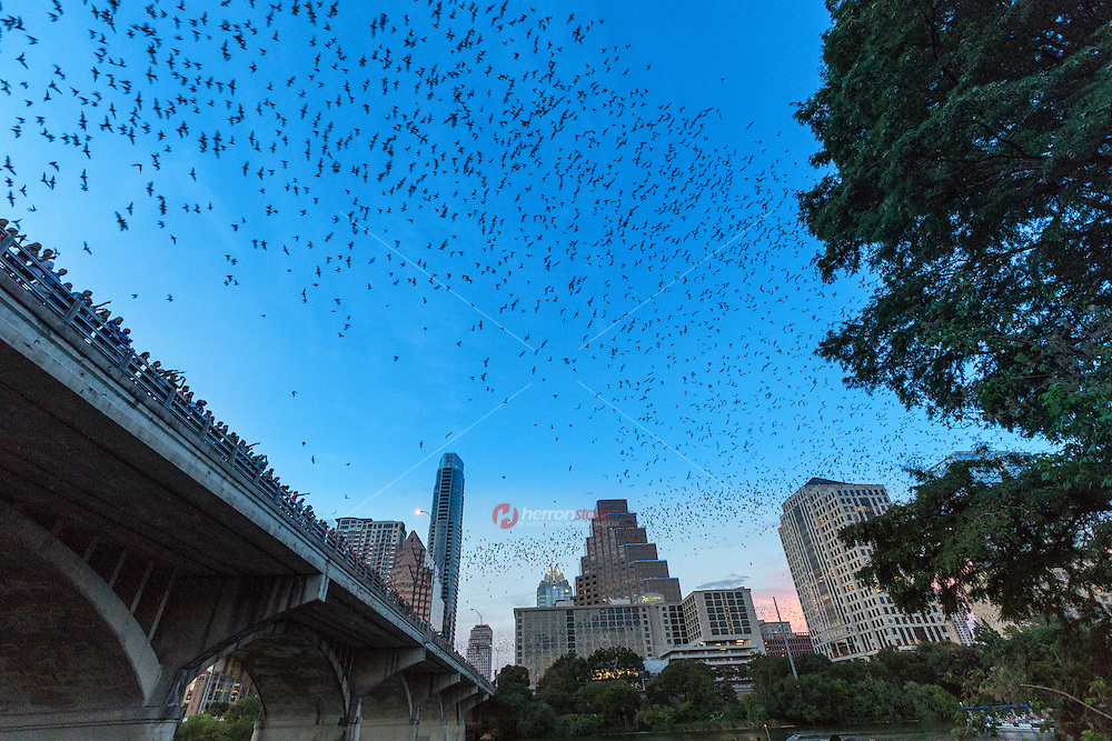 The Congress Avenue Bridge is home to the largest urban bat colony in North America with up to 1.5 million bats spiraling into the summer skies. Austin's bat colony is the most unusual and fascinating tourist attractions in the world.