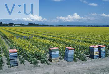 Bee hives in a Canola field for pollination of the flowers, USA.
