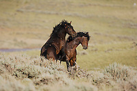 Mustang Horse (Equus caballus), stallions fighting, Pryor Mountain Wild Horse Range, Montana, USA