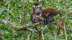 A pair of red-tailed guenons watch from the safety of the forest canopy in Kibale National Park, Uganda.