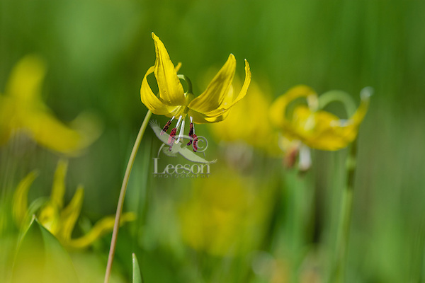 GLACIER LILY (Erythronium grandiflorum), Wyoming, June.
