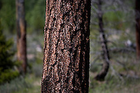 A view of tree bark in a forest outside Lincoln, Montana, USA.