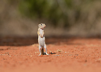 Mexican Ground Squirrel (Spermophilus mexicanus), young standing on hind legs watching, South Texas, USA