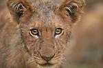 African Lion (Panthera leo) cub, Kafue National Park, Zambia