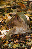 fossa lying on forest floor