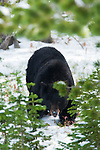 A large black bear approaches the photographer, October 3, 2010,  Yellowstone National Park, Wyoming, USA.  Photo by Gus Curtis.