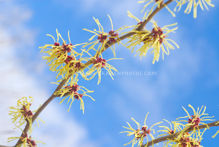 Hamamelis Pallida in flower in winter bloom against blue sky and clouds