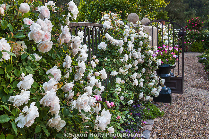 Old Garden Rose (Rosa ) 'Madame Alfred Carriere' white climbing heirloom shrub rose on entry fence; Magowan Garden