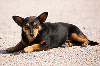 Pinscher Basotto dog chilling out at Palazzo wine estate, Montalcino, Tuscany, Italy