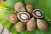 Aldeia Baú, Para State, Brazil. Babassu nuts cut open to show the kernel.