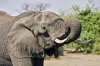 African Bush Elephants (Loxodonta africana) drinking water, Chobe River, Chobe National Park, Botswana, Africa