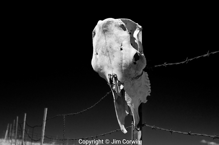 Cow skull attached to post with barbwire fence, farmland Eastern Washington