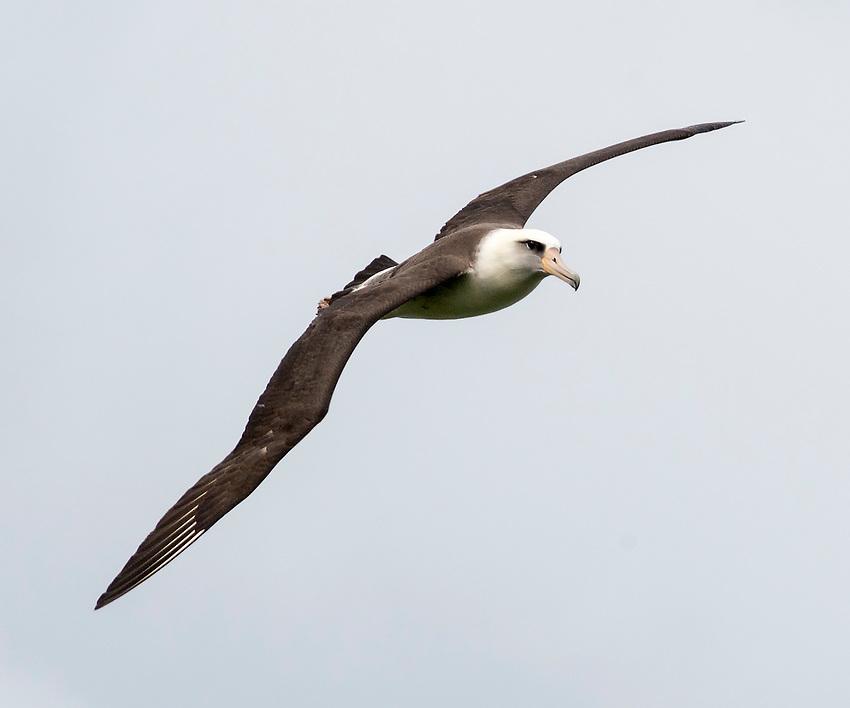 A Laysan albatross (Phoebastria immutabilis)   in flight over the north shore of Kauai, Hawaii