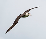 A Laysan albatross (Phoebastria immutabilis)   in flight over the north shore of Kauai, Hawaii
