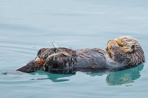 Alaskan or Northern Sea Otter (Enhydra lutris) resting.
