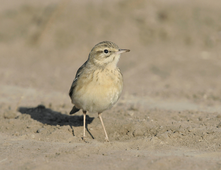 Tawny Pipit - Anthus pratensis Length to 16cm. Relatively large, long-tailed pipit associated with dry grassland and arid habitats generally. Adult has sandy-buff plumage with subdued streaks on breast and back. Breeding range extends from S Europe to Asia; winters in Africa and S Asia.