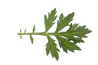 Beifuß, Gewöhnlicher Beifuß, Beifuss, Artemisia vulgaris, Mugwort, common wormwood, wild wormwood, wormwood. L'Armoise commune,  L'Armoise citronnelle. Blatt, Blätter, leaf, leaves
