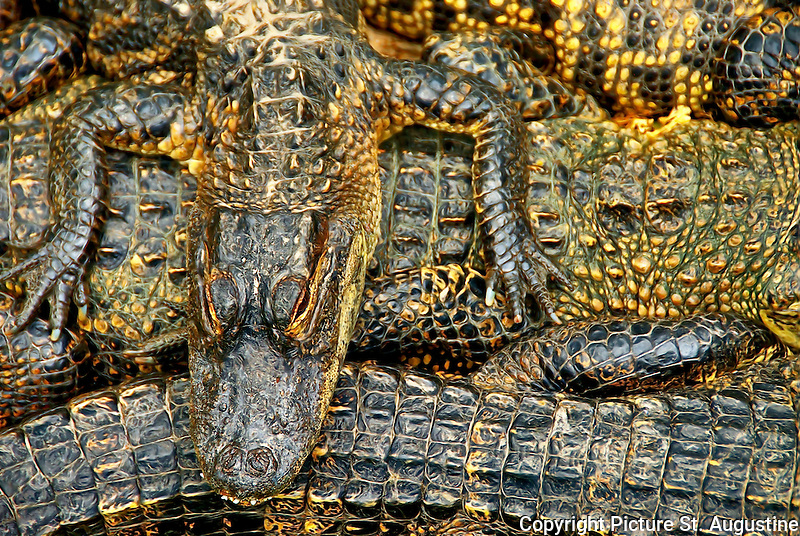 Photograph of American Alligators enjoying the warmth of the sun on a cool spring day in St. Augustine, Florida.