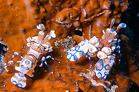 A pair of Harlequin shrimps, Hymenocera picta, resting on a brown hard coral background Koh Ha, Thailand, Asia