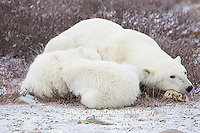 01874-13704 Polar Bears (Ursus maritimus) female with 2 cubs sleeping, Churchill, MB Canada