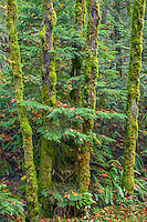 ORCG_D219 - USA, Oregon, Columbia River Gorge National Scenic Area, Lush autumn forest with boughs of western hemlock reaching through mossy, slim trunks of bigleaf maple - near Gorton Creek.