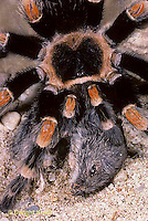 SI21-016a  Tarantula - red legged with prey, mouse