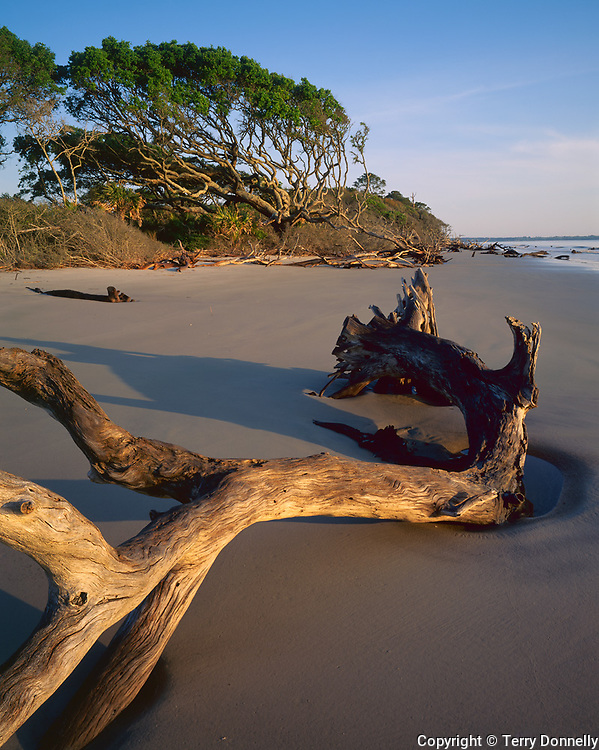 Jekyll Island, GA<br /> Morning light on driftwood and the distant windswept live oaks (Quercus virginiana) on a sand beach
