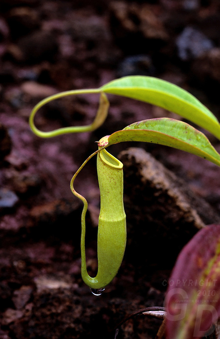A carnivorous pincher plant  from Palau, Micronesia, after a rain shower hence the water drop
