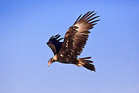 Wedge-Tailed Eagle, near Karumba, Queensland, Australia