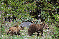 Grizzly Bear--sow with cubs--walking through forest meadow.  Northern Rockies.  Summer.