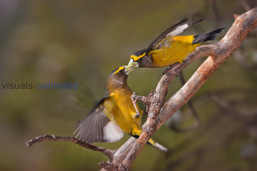 Evening Grosbeak (Coccothraustes vespertinus) males in a territorial dispute, Pike National Forest, Colorado, USA