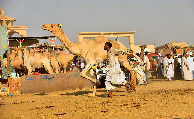 Egyptians gather during the last day of an auction at Birqash Camel Market just outside of Cairo, Egypt, Friday, Sept. 20, 2015 ahead of next week's Eid al-Adha holiday. Muslims all over the world celebrate the three-day festival Eid al-Adha, by sacrificing sheep, goats, camels and cows to commemorate the willingness of the Prophet Ibrahim (Abraham to Christians and Jews) to sacrifice his son, Ismail, on God's command. Photo by Amr Sayed