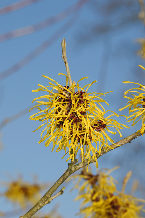Hamamelis x intermedia is a popular hybrid of Witch Hazel H. mollis with more showy spring flowers than of the above species; seen as many different cultivars.