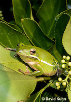 1218-1015  American Green Treefrog Sitting in Bush, Hyla cinerea  © David Kuhn/Dwight Kuhn Photography