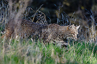 Wild Bobcat (Lynx rufus) stalking prey though grass in Central California.  December.  (Completely wild, non-captive cat.)