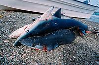 Shark fishing, Blue shark, Prionace glauca, Baja California, Mexico, Pacific Ocean