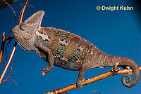 CH39-529z  Male Veiled Chameleon in display colors, Chamaeleo calyptratus