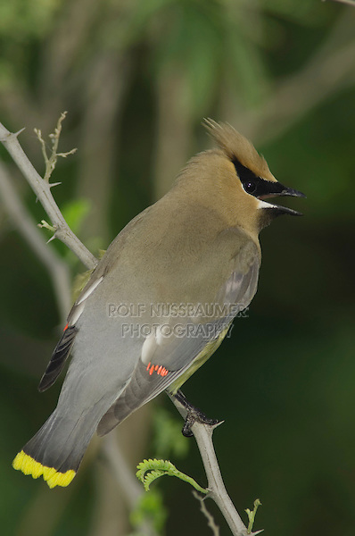 Cedar Waxwing, Bombycilla cedrorum, adult calling, South Padre Island, Texas, USA, May 2005