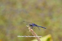 06620-00703 Slaty Skimmer dragonfly (Libellula incesta) male perched near wetland, Marion Co., IL