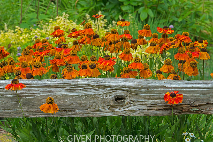 Helenium flowers and split rail fence, Washington
