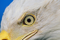 Bald eagle (Haliaeetus leucocephalus) eye.