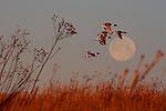 Northern Pintail Ducks (Anas acuta) fly across the morning sky.  Alberta, Canada