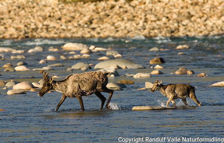 Villrein fra Blunose-flokken krysser Hornaday River i Canada. ---- Caribou from the Bluenose Herd crossing Hornaday River.