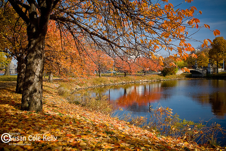Autumn brings color to the cherry trees on the Storrow Lagoon, Back Bay, Boston, MA, USA