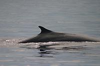 fin whale, Balaenoptera physalus, dorsal fin, Azores, Portugal, North Atlantic