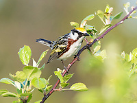 chestnut-sided warbler, Setophaga pensylvanica, male, Nova Scotia, Canada