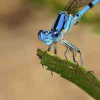 Aztec Dancer Damselflies are small, active daytime fliers often seen in the grasses and other vegetation around ponds and slow waters.
