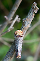 Buff-tip Moth (Phalera bucephala) camouflaged on a twig. Devon, UK. June.
