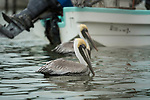 Two Brown Pelicans, Pelecanus occidentalis, on the water in the boat anchorage of the fishing village of Rio Lagartos in the Ria Lagartos Biosphere Reserve, a UNESCO World Biosphere Reserve in Yucatan, Mexico.