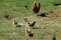 Huhn, Henne mit Küken, Freilaufende Hühner, artgerechte Tierhaltung